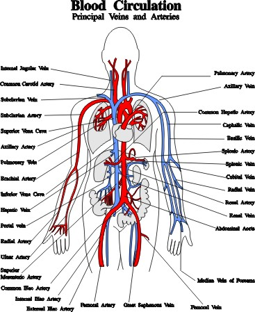 blood vessels veins and arteries